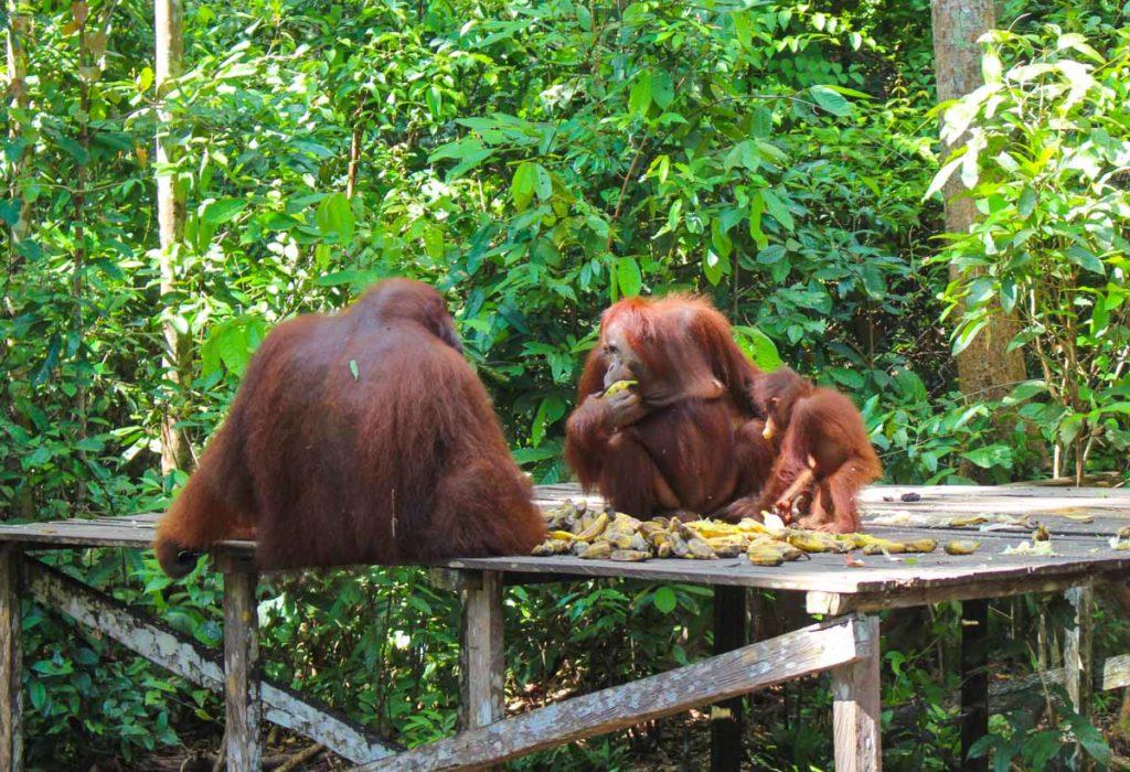 A viagem ao parque Tanjung Puting foi uma experiência incrível, com a possibilidade de observar os orangotangos bem de pertinho.