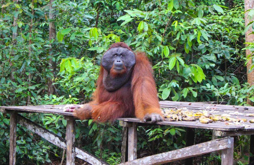 A viagem ao Parque Tanjung Puting vai te dar a oportunidade de ver os orangotangos bem de pertinho.