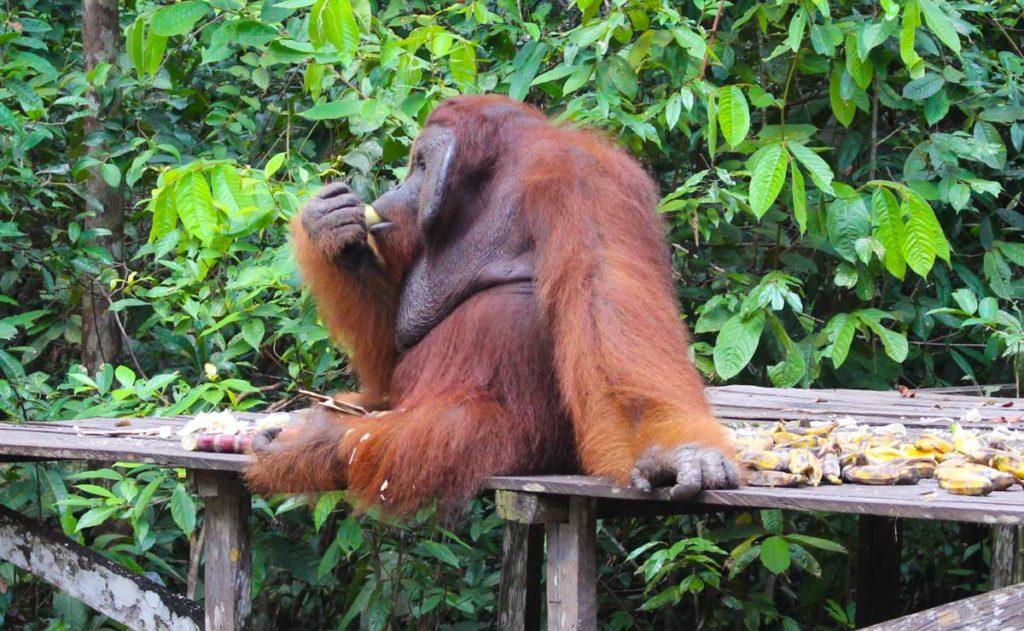 As plataformas de alimentação são os pontos mais fáceis para o observar os orangotangos de Bornéu durante a viagem ao Parque Tanjung Puting.
