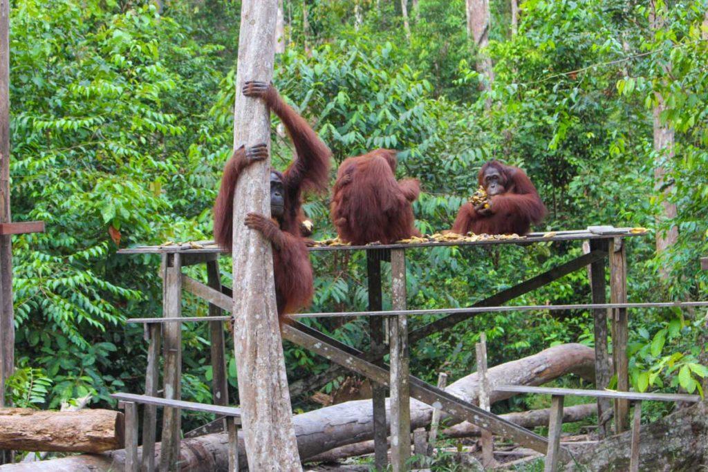 Camp Leakey é o principal centro de pesquisa e conservação de Orangotangos e Bornéu, a viagem pelo parque Tanjung Puting terminou nessa parte da floresta.
