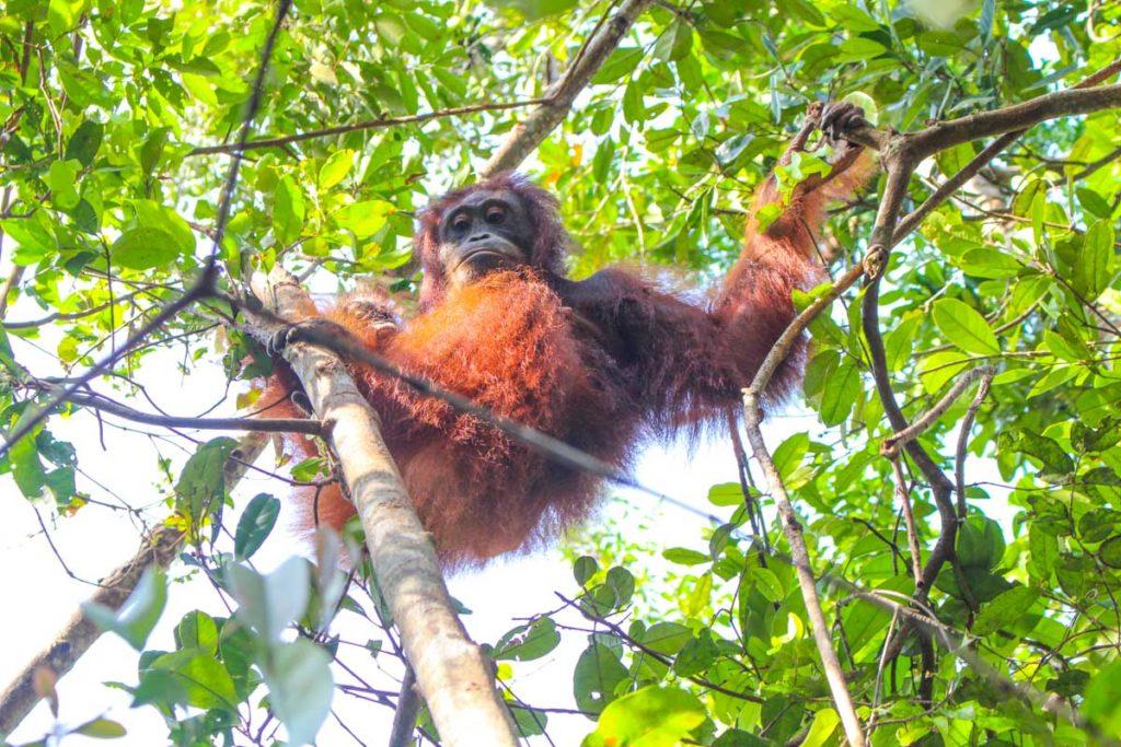 Durante a viagem ao Parque Tanjung Puting você vai ter a possibilidade de caminhar pela floresta e observar os orangotangos soltos na natureza.