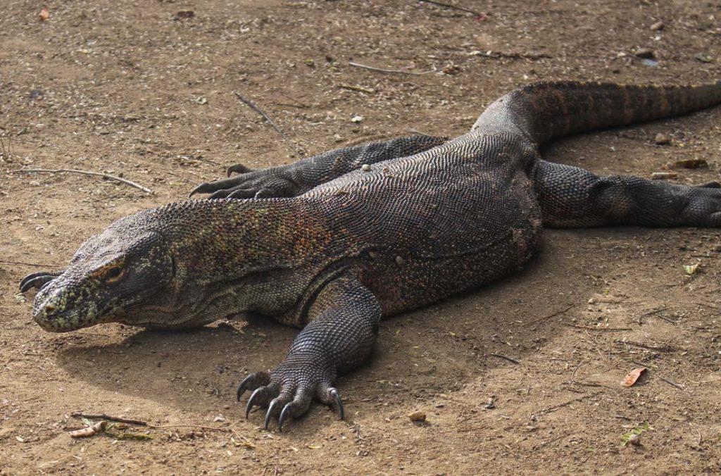 Além da ilha de Komodo, os dragões também podem ser vistos na ilha Rinca.