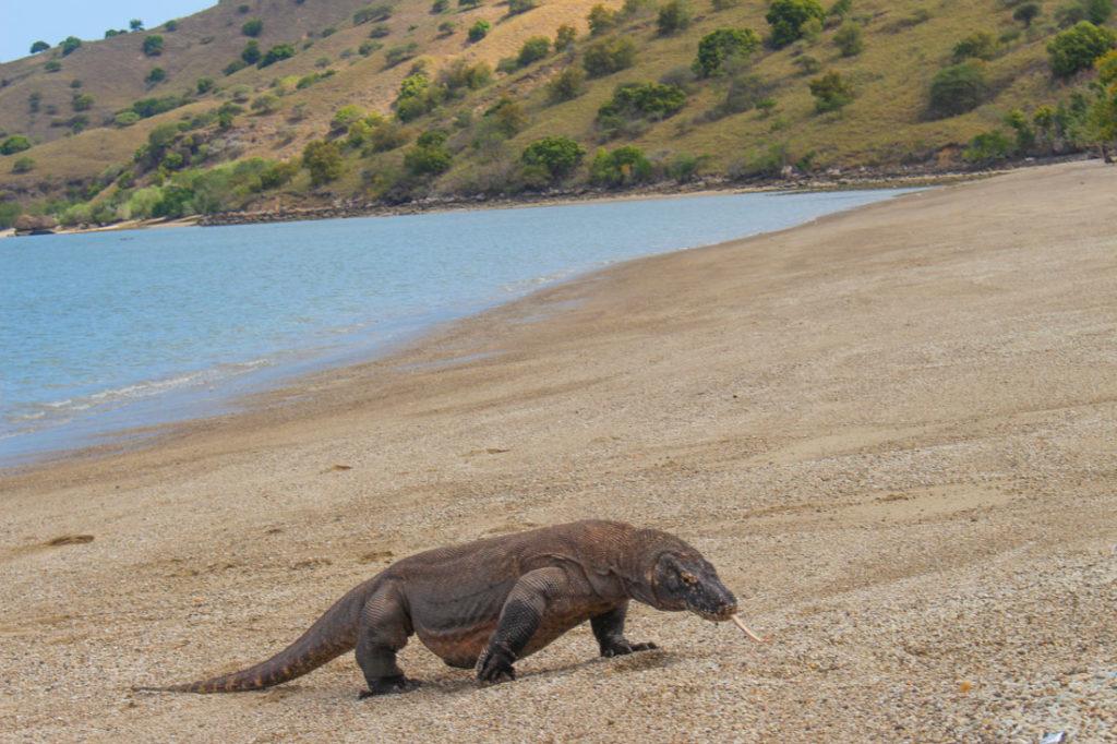 O dragāo de Komodo pode chegar a 3 metros de comprimento! Foto na ilha de Komodo.