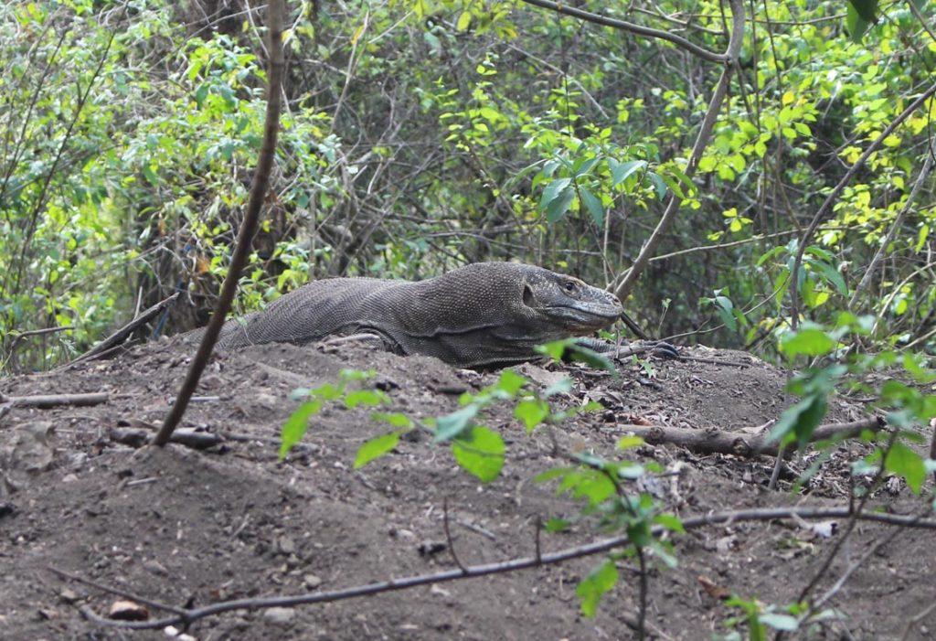 Um dragão de Komodo preparando o ninho na ilha de Padar.