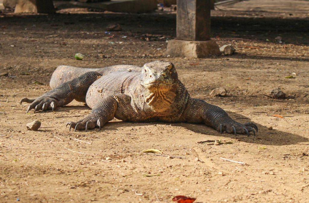 Os dragões de Komodo podem ser encontrados na ilha de Komodo e em outros do parque nacional como a ilha Rinca.