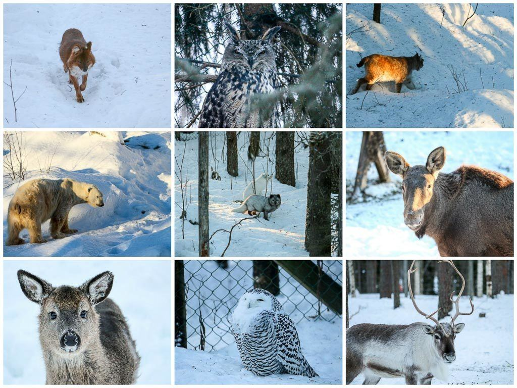 If you like animals, one of the things you must do in Rovaniemi is to visit the Ranua Wildlife Park.