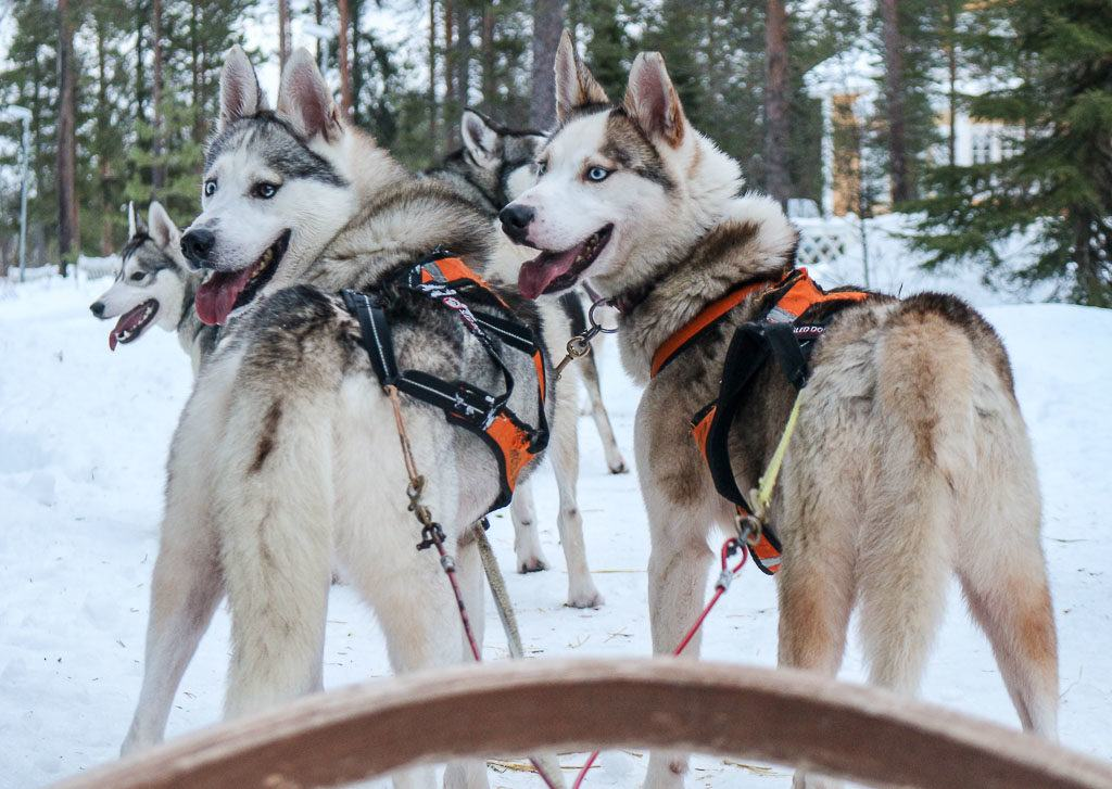 Many tour of things to do in Rovaniemi includes a visit to the Husky Farm and a dog sled experience.