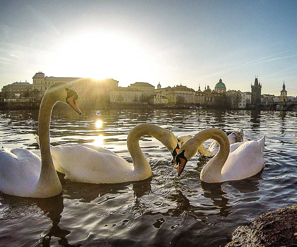 There is nothing more romantic to do in Prague then admire the swans by the Vltava River.