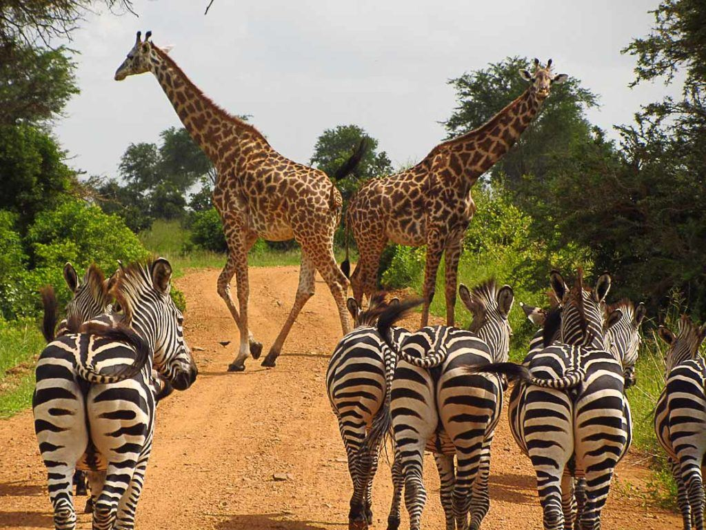 Giraffes and zebras are just two of the many wild animals you can admire in Tanzania.