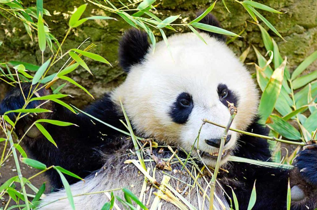 A cute baby Panda bear eating bamboo. We have covered all San Diego travel costs in this complete guide to make your California trip budget planning much easier.