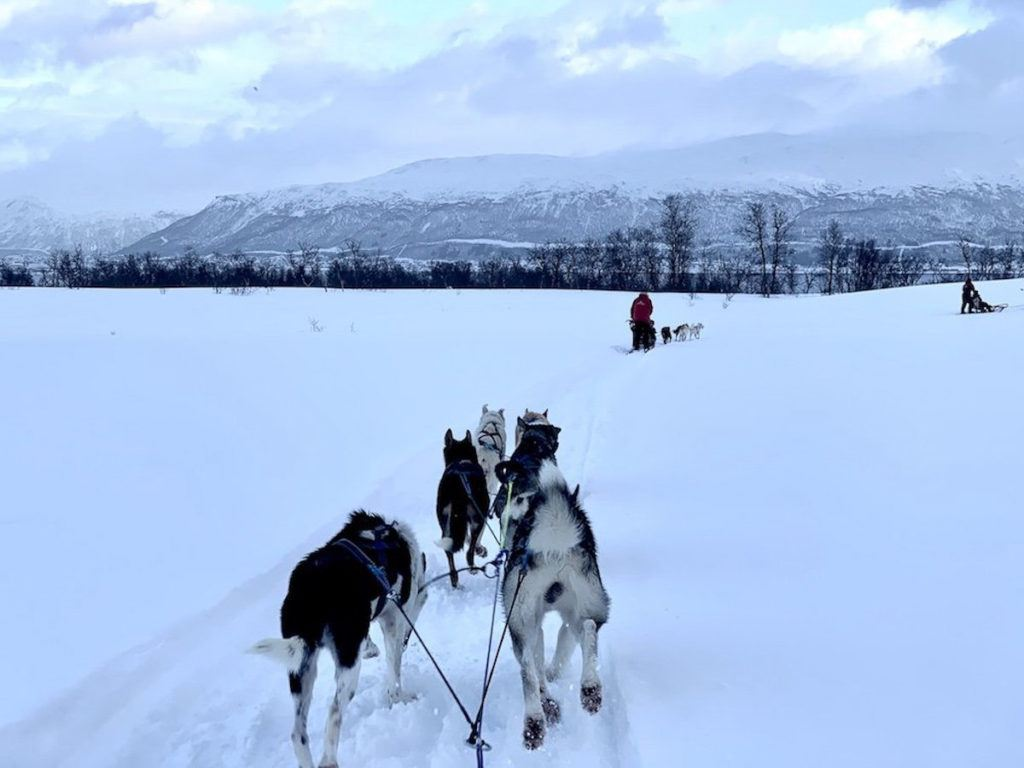 Husky running on the snow pulling a sled. This is a must-do in Tromso for any budget or traveler.