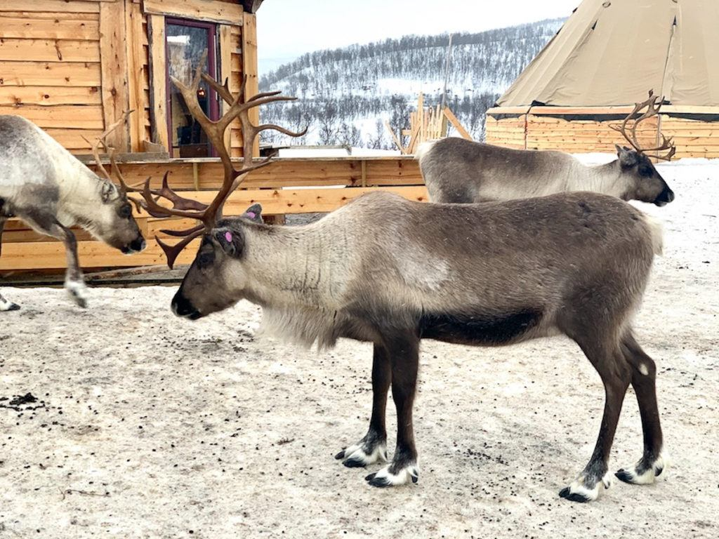 A reindeer from a Sami camp in Tromso. During this tour, you can see the animals, feed them, and learn about the Sami people's history and culture.