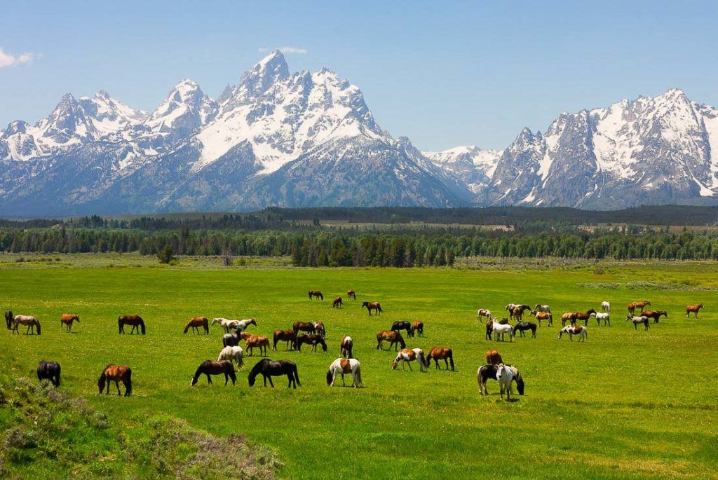 Teton Range in the background with snow capped peaks and in the front is a green field with horses.